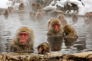 Snow Monkeys, Japanese Alps, Honshu Island